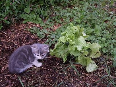 Kitten and Lettuce